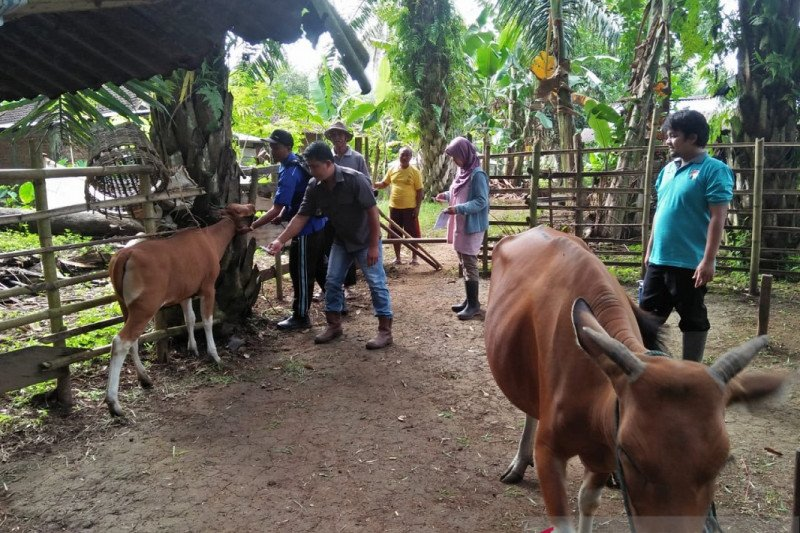 Akibat penyakit jembrana, 90 sapi di Mukomuko mati, sebut Distan