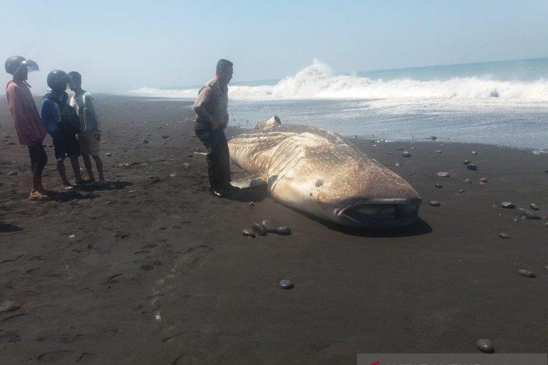 Seekor hiu paus berat 1 ton terdampar di Pantai