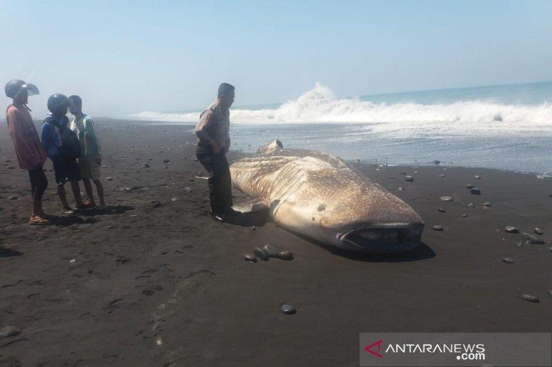 Seekor ikan hiu paus terdampar di Pantai Bambang Lumajang