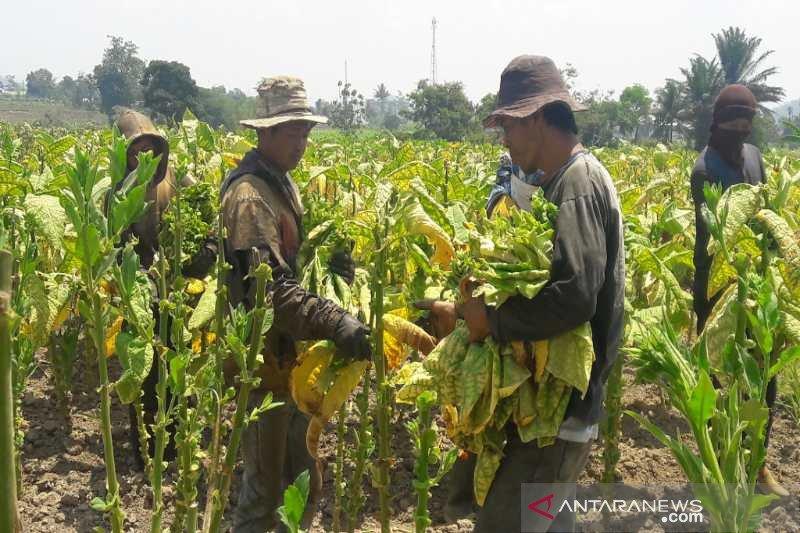 Curahan hati petani tembakau terkait harga cukai rokok