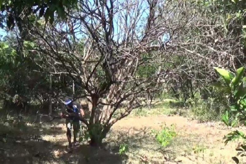 Puluhan ribu pohon jeruk pamelo di Magetan mati kekeringan