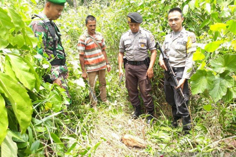 Seekor sapi mati diduga diterkam harimau sumatera di Aceh Selatan