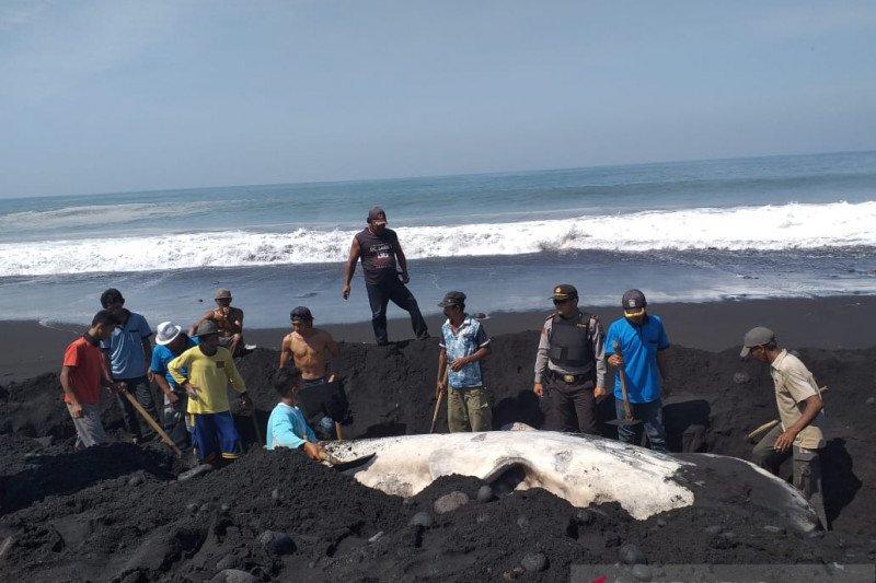 Dinas Perikanan kubur bangkai paus yang terdampar di Pantai Lumajang