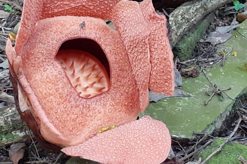 Rafflesia patma mekar ke empat belas kalinya di Kebun Raya Bogor
