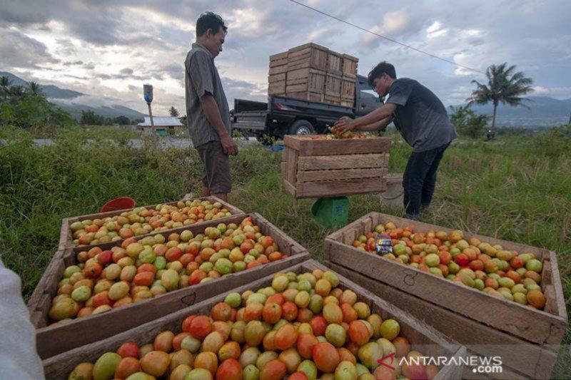 Sekdaprov: Petani keluhkan harga tomat rendah
