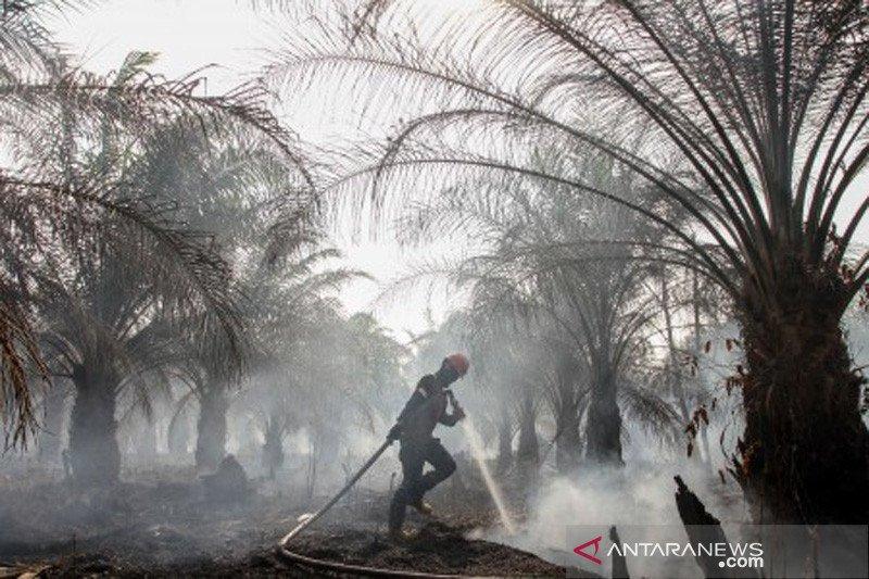 Kebun sawit tua terbakar tetap dapat dana peremajaan sawit rakyat, begini penjelasannya