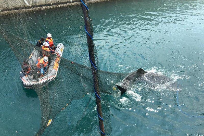 Tim Rescue Shark Paiton evakuasi Hiu Paus dengan