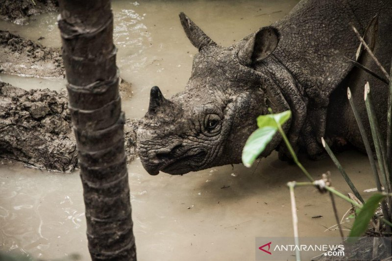Aceh bakal bangun konservasi badak sumatera di Lampung