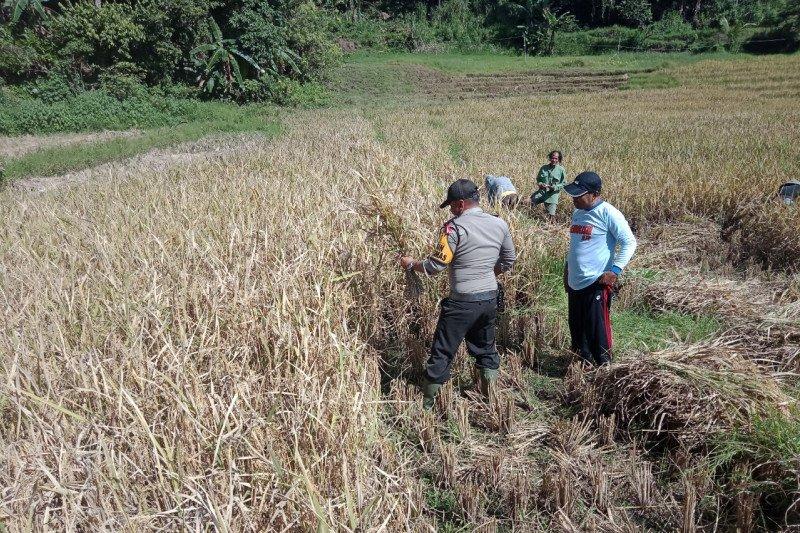 Inovasi Babinkamtibmas Polres Agam Buka Lahan Tidur untuk pertanian