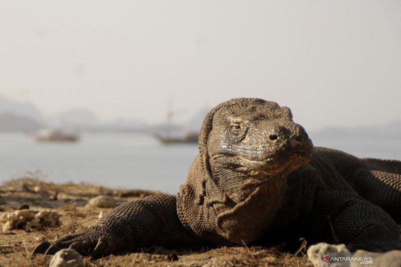Populasi hewan purba komodo capai 1.500-an ekor