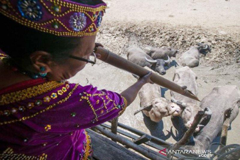 Sisa tradisi peternakan adat di Poso