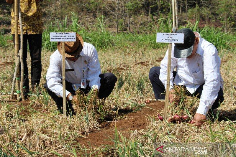 Petani Gunung Kidul panen bawang merah