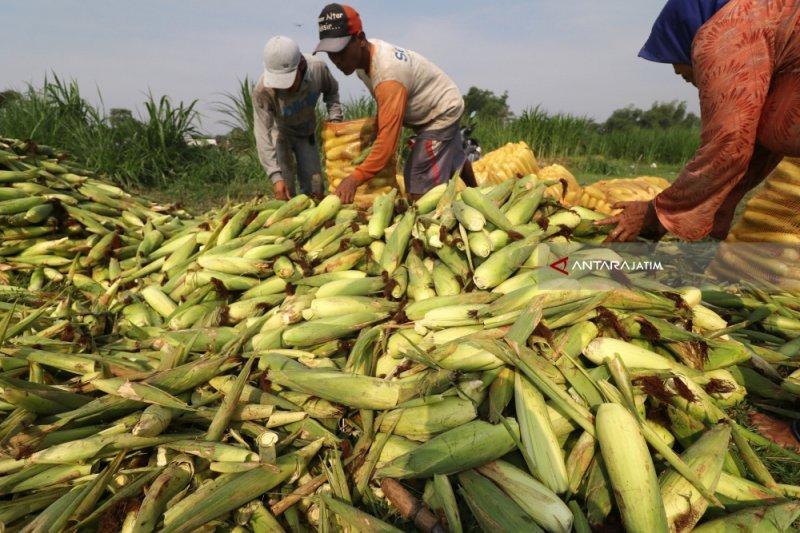 Petani jagung di Magetan rugi karena gagal panen