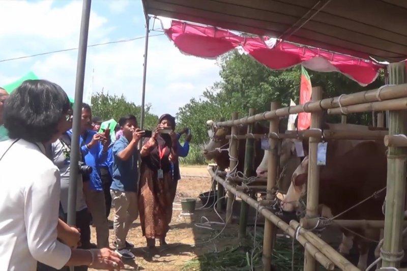 Swasembada daging sapi, Babel luncurkan integrasi sapi – sawit