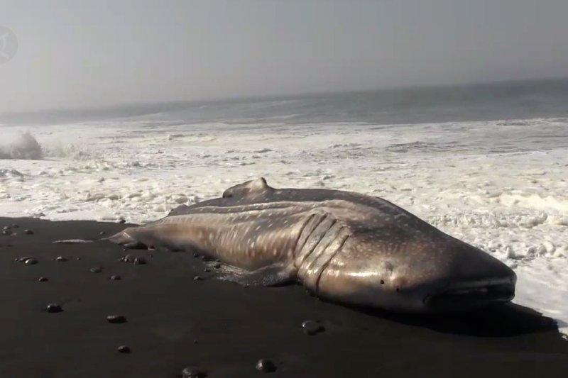 Seekor hiu paus tutul terdampar di pesisir Lumajang