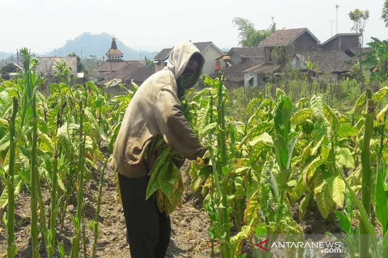 30 persen tanaman tembakau di Temanggung belum dipanen
