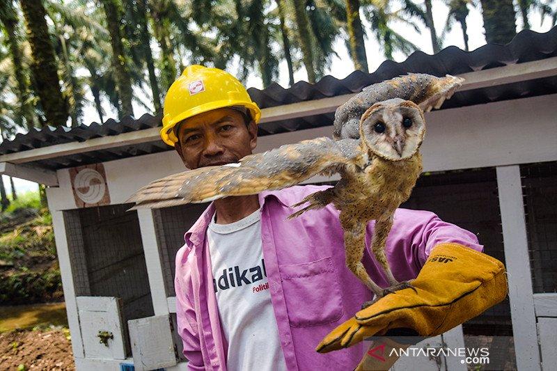 (FOTO) Burung Hantu Penjaga Kebun Kelapa Sawit