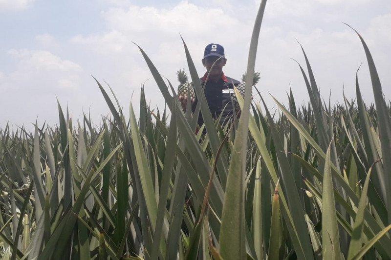 Produksi nanas PT GGP capai 2.000-3.500 ton per hari