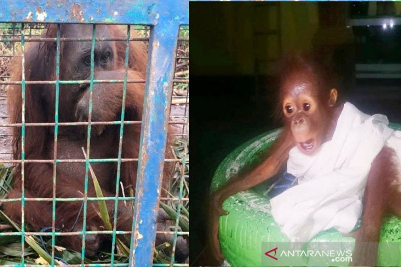 Induk dan bayi orangutan selamat dari kebakaran hutan