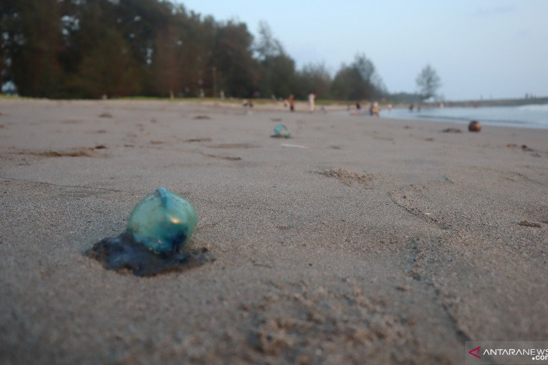 Sempat menyengat nelayan, TDC kumpulkan  50 ubur-ubur beracun di sepanjang pantai Pariaman