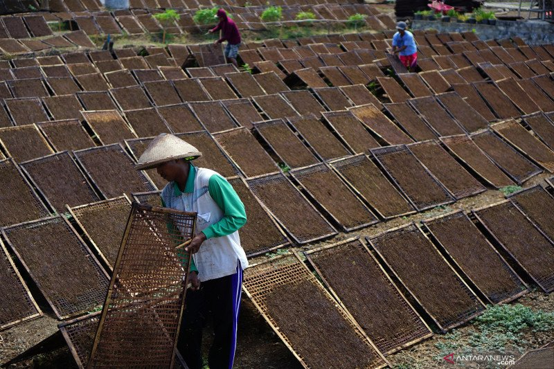 Petani terpaksa jual tembakau secara eceran