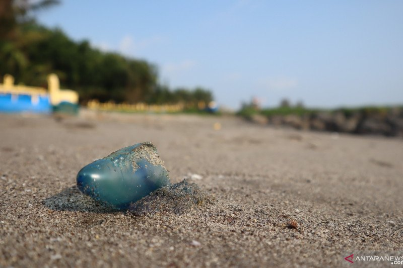 Visitors who come to Tanjung Mutiara Agam diminish because of the jellyfish