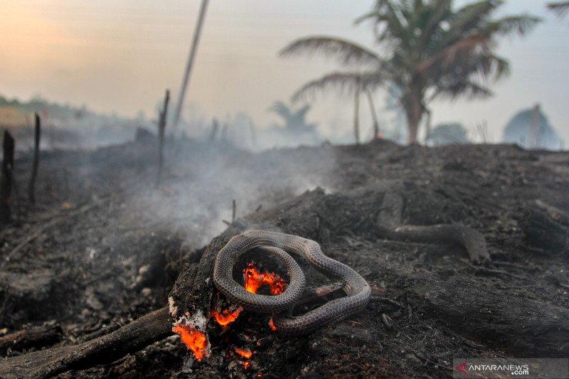 Kebakaran lahan Pekanbaru hanguskan kebun nanas