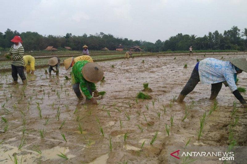 Musim gadu, 60 persen sawah di Kota Metro  ditanami padi