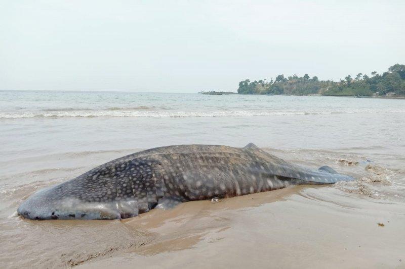 BPSPL ambil sampel hiu paus terdampar di pantai