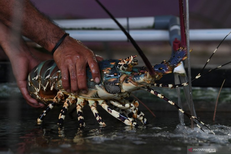 Menteri KKP masih matangkan rencana membuka ekspor benih lobster