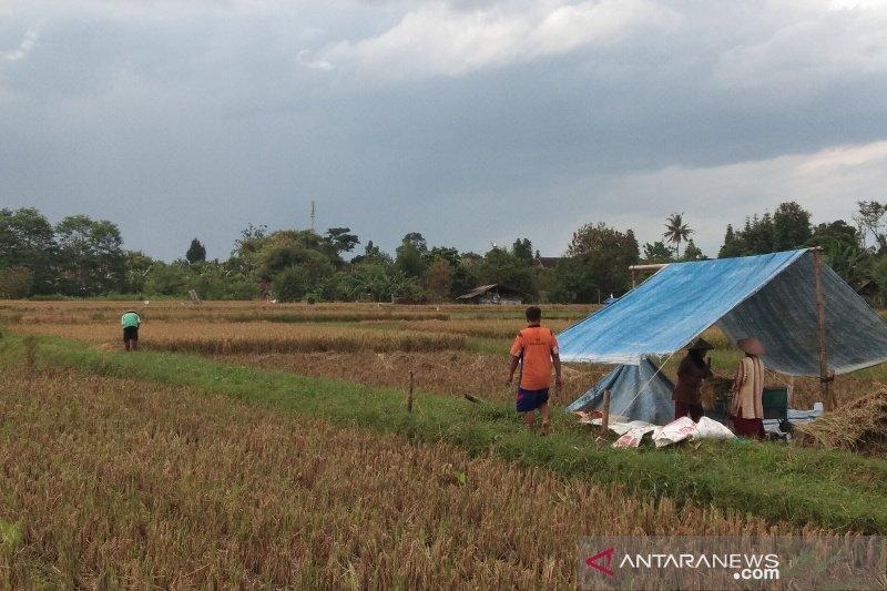 Lahan pertanian terdampak kekeringan di Bantul tidak meluas