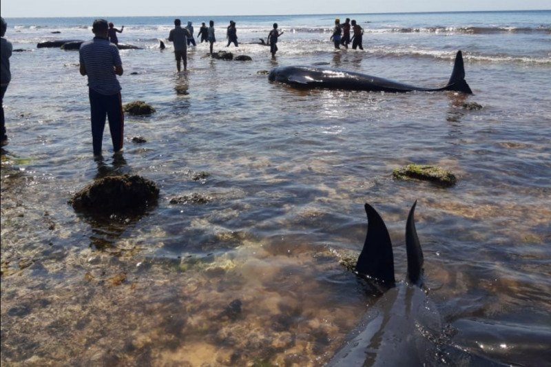17 ekor paus terdampar di Pantai Sabu Raijua