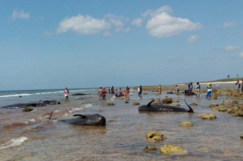 Pengamat : Jarang paus terjebak dan terdampar