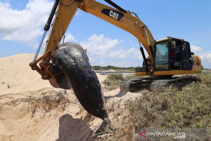 Paus pilot mati terdampar di Sabu Raijua NTT