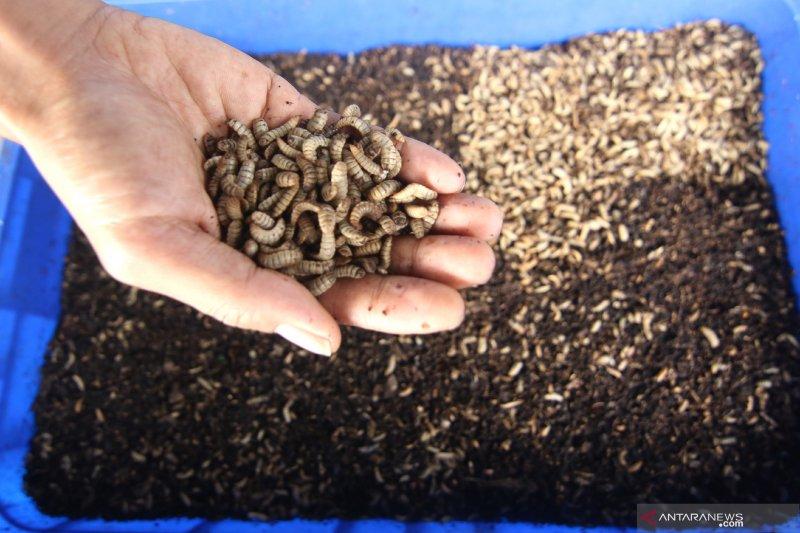 Lalat hitam pengurai sampah organik
