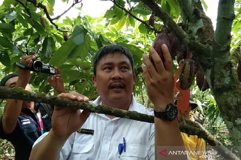 Kementan beri bantuan bibit kakao unggul bagi petani di Sultra