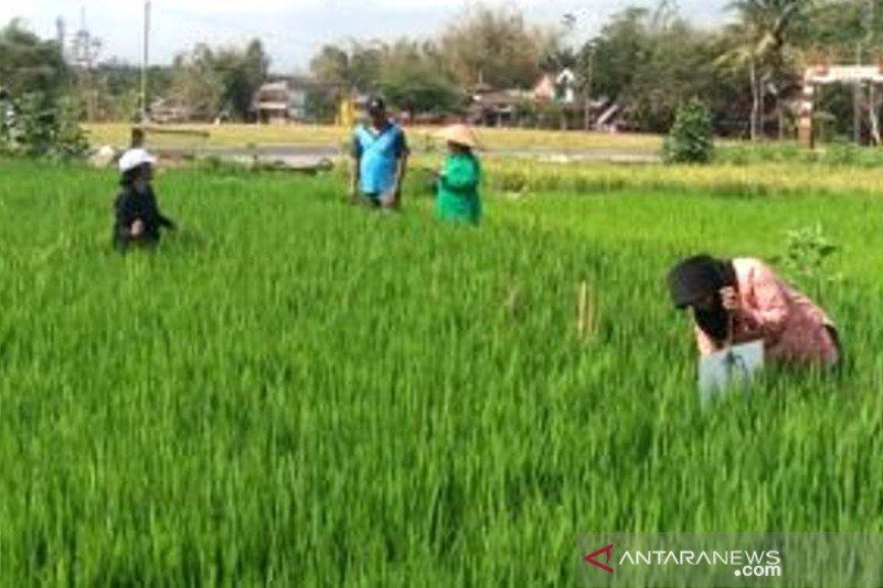 SLPHT diharapkan bawa petani lebih mandiri atasi hama-penyakit