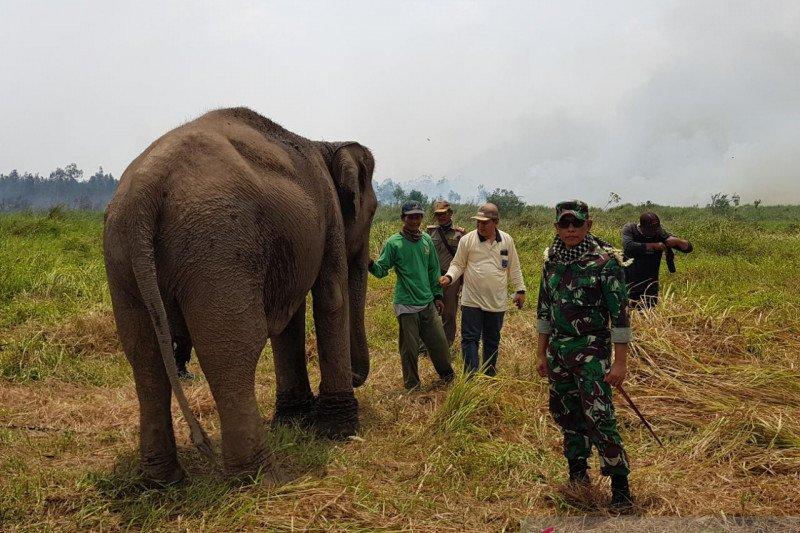Hutan di Banyuasin terbakar, 38 gajah berhasil diselamatkan