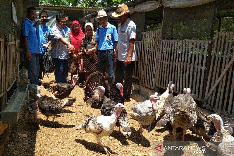 Undip siap dampingi peternak di Kudus ekspor daging kalkun
