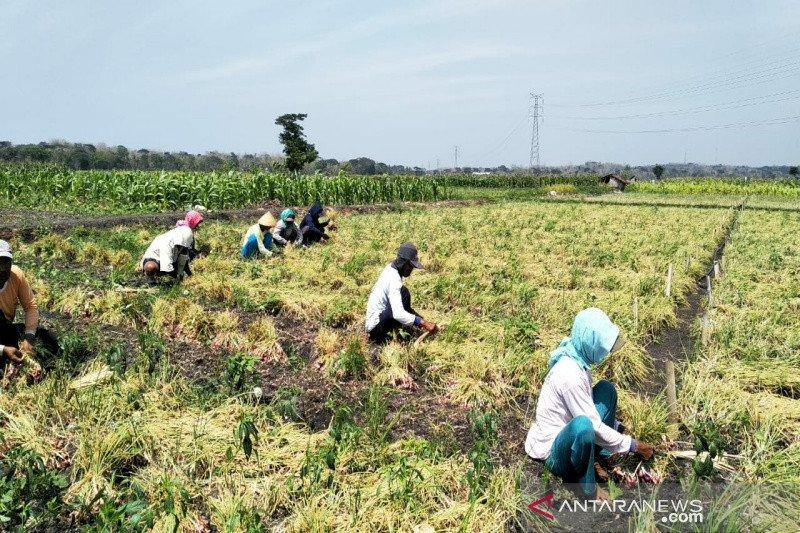 Petani bawang merah Kulon Progo panen raya (VIDEO)