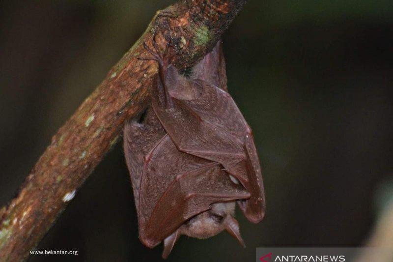 Spesies kelelawar lidah panjang ditemukan  di pohon rambai