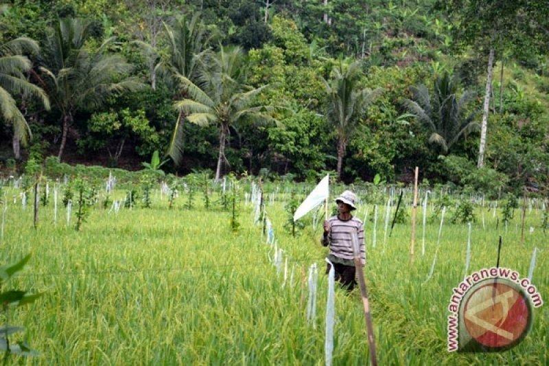 Poktan Lubuk Raja Ogan Komering Ulu dapat  bantuan bibit padi