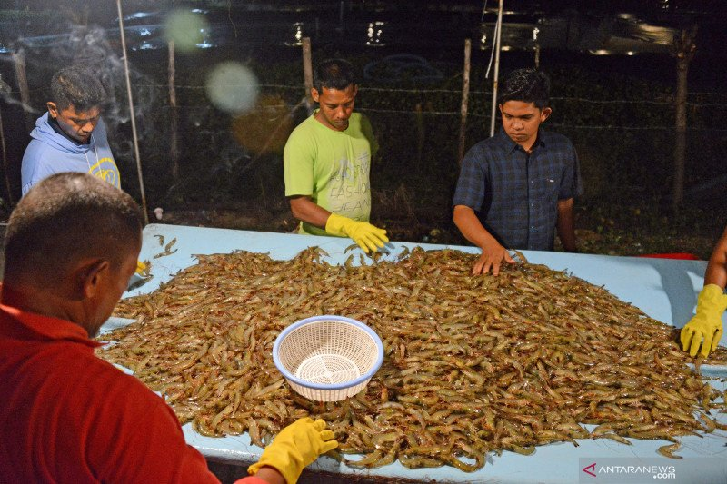 Pelaku usaha apresiasi KKP fokus kembangkan komoditas udang