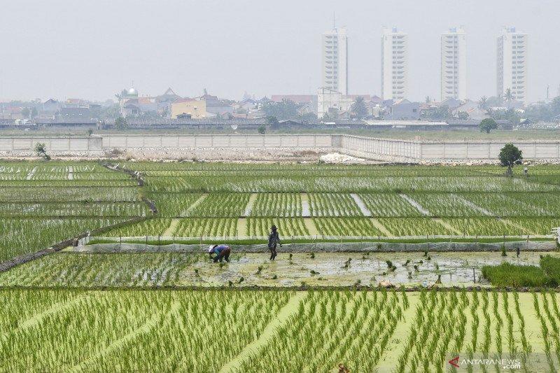 Bulir-bulir padi di antara gedung bertingkat