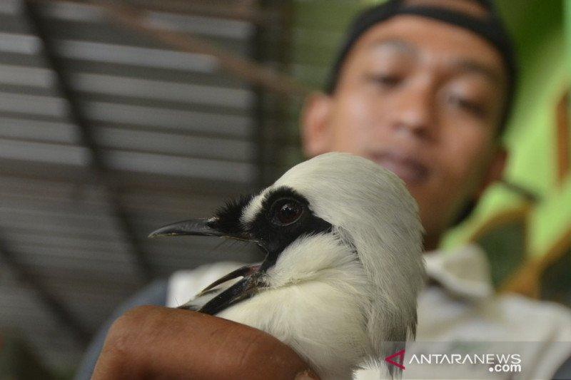 KSKP Bakauheni kembali gagalkan penyelundupan 3092 burung liar ilegal