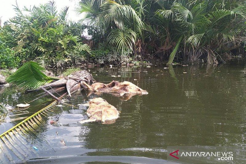 Ribuan babi mati akibat virus kolera