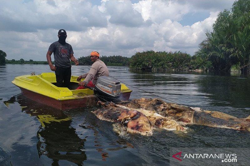 Dievakuasi, ratusan bangkai babi di Danau Siombak