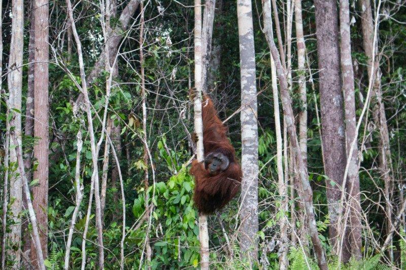 IAR Indonesia translokasikan orangutan ke hutan Sentap Kancang