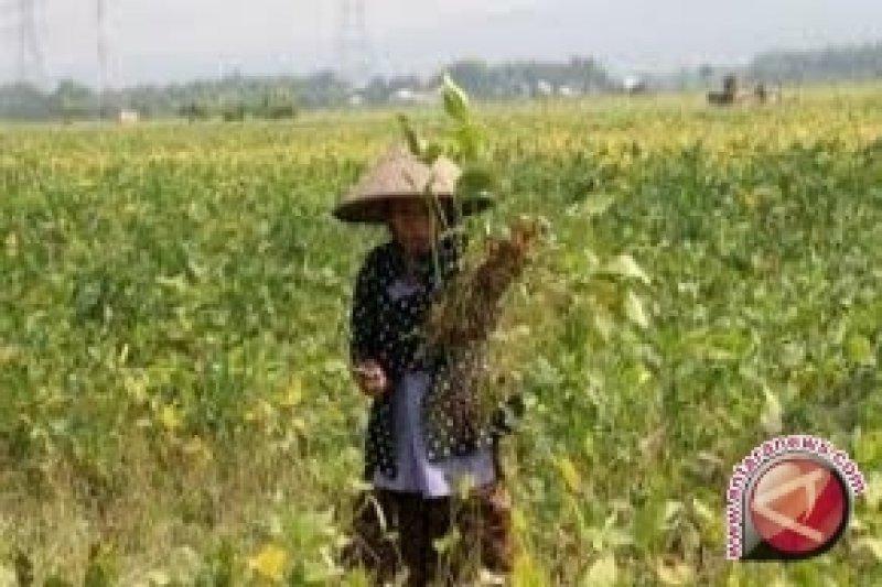 Benih langka, petani Parigi Moutong datangkan benih kedelai dari luar daerah
