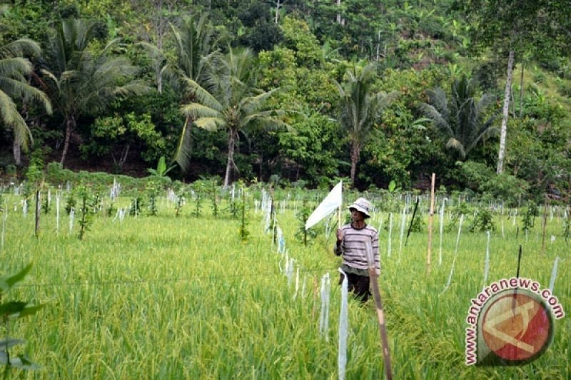 Petani Ogan Komering Ulu Timur  basmi hama tikus dengan pengemposan